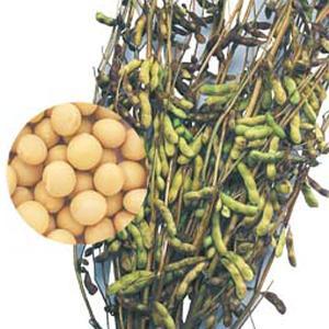 野菜の種/種子 鶴の子大豆・大豆 1L(大袋)タキイ種苗|vg-harada