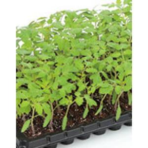 野菜の種/種子 アシスト・台木トマト 1000粒 プライマックス種子(大袋)サカタのタネ|vg-harada