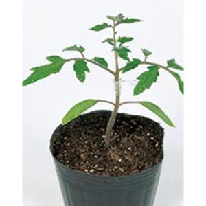 野菜の種/種子 ブロック・台木トマト 1000粒 プライマックス種子(大袋)サカタのタネ 種苗|vg-harada