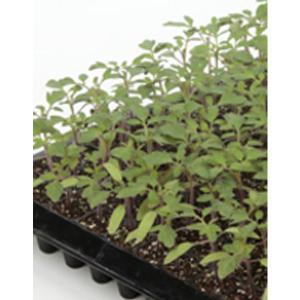 野菜の種/種子 バックアタック・台木トマト 1000粒 プライマックス種子(大袋)サカタのタネ|vg-harada