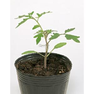 野菜の種/種子 マグネット・台木トマト 1000粒 プライマックス種子(大袋)サカタのタネ 種苗|vg-harada