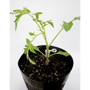 野菜の種/種子 レシーブ・台木トマト 1000粒 プライマックス種子(大袋)サカタのタネ|vg-harada