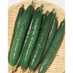 野菜の種/種子 よしなり・キュウリ きゅうり 約18粒(メール便可能)サカタのタネ vg-harada