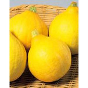 野菜の種/種子 コリンキー・カボチャ かぼちゃ 100粒(大袋)サカタのタネ 種苗 vg-harada