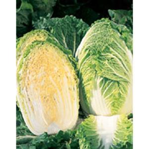 野菜の種/種子 みねぶき505・ハクサイ 5000粒缶入 ペレット種子(大袋)サカタのタネ 種苗|vg-harada