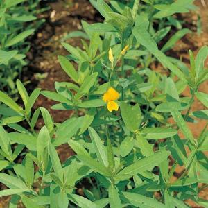 コブトリソウ 1kg 緑肥/種(大袋)サカタのタネ|vg-harada