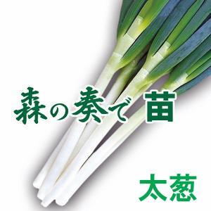 野菜の苗 森の奏で(もりのかなで)ネギ 葱 苗 50本/束|vg-harada