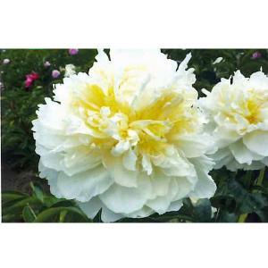 花の苗 芍薬 蕾付き/1ポット/21cmポット(7号)/鉢植え/花壇/ウォルターマインズ(4月上旬より順次発送)|vg-harada