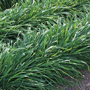ライムギ(ライ麦)TRY-1 1kg 緑肥/景観用作物/種 タキイ種苗 vg-harada