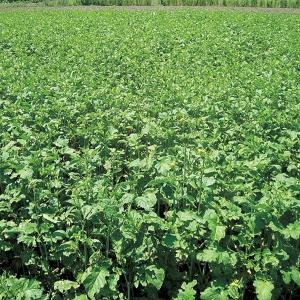 緑肥用チャガラシ いぶし菜  1kg 緑肥/景観用作物/種 タキイ種苗 vg-harada