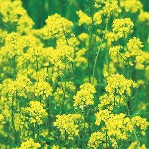 緑肥用からしな(シロカラシ)黄花のちから  1kg 緑肥/景観用作物/種 タキイ種苗 vg-harada