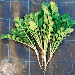 緑肥用大根 コブ減り大根 1kg 緑肥/景観用作物/種 タキイ種苗 vg-harada