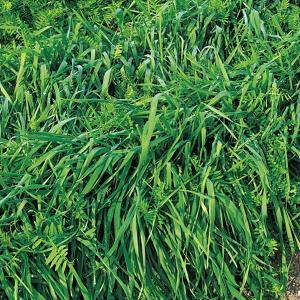 らい麦+ヘアリーベッチ(2種混合種子)まめむぎマルチ 1kg 緑肥/景観用作物/種 タキイ種苗 vg-harada