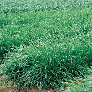 アウェナストリゴサ(えん麦野生種)ネグサレタイジ 1kg 緑肥/景観用作物/種 タキイ種苗 vg-harada