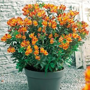 花の苗  ガーデンアルストロメリア  インディアンサマー/1ポット/10.5cmロングポット/鉢植え/花壇/切り花/宿根 花苗(4月中旬より順次発送)|vg-harada
