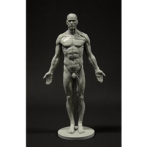 Male Anatomy Figure: 11-inch Anatomical Reference for Artists (Grey) 男性解剖図|vivian4988