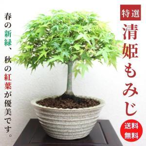 紅葉の代表樹といえばモミジ。実は新緑の季節もみずみずしく美しいものです。 年数が経つと木肌は白くなり...