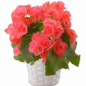リーガス 4.5号 フラワーギフト ベゴニア お花 鉢植え 鉢花 お取り寄せ お土産 ギフト プレゼント 特産品 名物商品 バレンタイン|wagamachi-tokusan