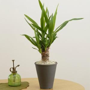 観葉植物 青年の木 ユッカ 陶器 鉢植え お取り寄せ お土産 ギフト プレゼント 特産品 名物商品 バレンタイン|wagamachi-tokusan