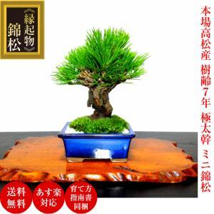 即日出荷 盆栽 松 樹齢7年 渾身の傑作 極太幹の錦松 極太幹 樹形美 枝振りの良い盆栽 あすつく