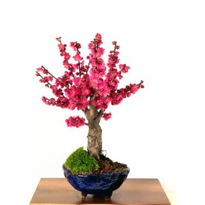 盆栽 梅 紅梅 大盃梅 室内 初心者 おしゃれ植物 癒し 盆栽 ギフト フラワーギフト