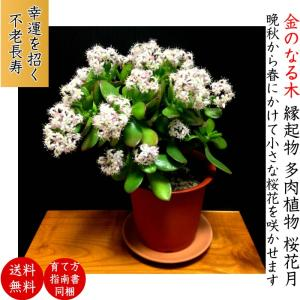 【こだわりおすすめポイント】 樹齢3年の金のなる木になります。 最大の魅力である『花の開花』は、若木...