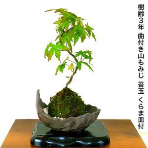 【こだわりおすすめポイント】 日本の伝統美《もみじ》を屋内、屋外でお楽しみ頂ける『一級品 樹齢3年 ...