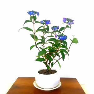 【こだわりおすすめポイント】 紫陽花の中でも盆栽に向いており、風情や色彩を楽しみ安く、初心者の方から...