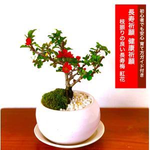 盆栽 ミニ 長寿梅 紅花 ミニ盆栽 室内 趣味 おしゃれ盆栽 ミニ観葉 ギフト 誕生日 プレゼント