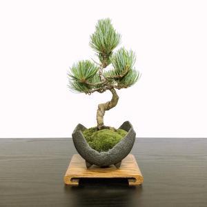 こだわりポイント  針金かけから樹形づくりに至るまで「匠の技」が集結した「極上の逸品 五葉松盆栽」で...