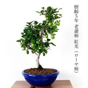 盆栽 即日出荷可 ローヤ柿盆栽 紅光 樹齢4年 樹形美の実のなる盆栽 四日市鉢