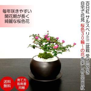 盆栽 ミニ 即日出荷 姫サルスベリ 桜色の姫花 ミニプチ盆栽 四日市鉢 萬古焼