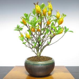 盆栽 クチナシ 室内 初心者 おしゃれ観葉 シンボルツリー 誕生日 ギフト 実もの盆栽