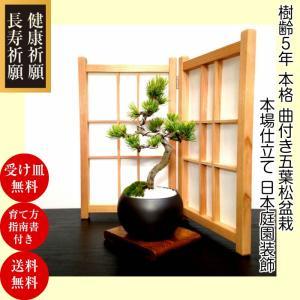 盆栽 松 五葉松 銀緑葉の癒し 樹齢5年 特選曲付き高松五葉松 樹形美 枝振りの良い五葉松
