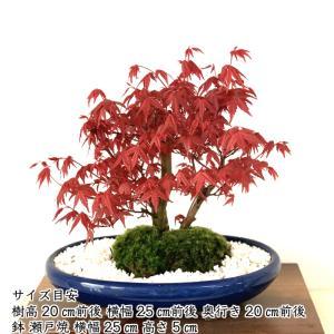 即日出荷可 希少 双幹樹形 出猩々もみじ盆栽「年に2度紅葉する出猩々もみじ」日本の美 年間通じて楽しめる初心者でも安心の盆栽