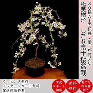 盆栽 桜  枝垂れ しだれ 桜 室内 初心者 趣味 癒し 植物 さくら 誕生日 ギフト シンボルツリ...