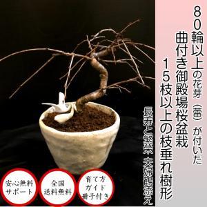 盆栽 桜 即日出荷可 曲付き枝垂れ御殿場桜盆栽 70〜80以上の蕾付