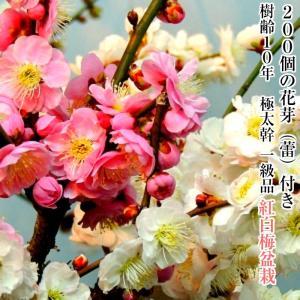 盆栽 梅 紅白2色 咲き分け 思いのまま 極太捻転幹の紅白梅盆栽 80個以上の紅白2色の花芽(蕾)付...