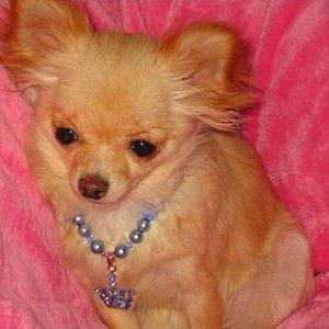 犬のアクセサリー【Crown blue ネックレス】ペット用アクセサリー/犬のネックレス/犬グッズ/犬用品|wanwan3dogs