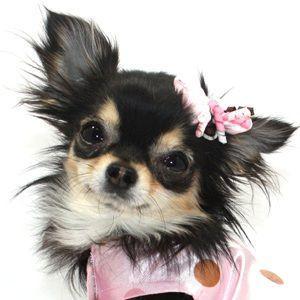 犬のヘアーアクセサリー【Pink Confetti ヘアゴム】ペットアクセサリー/リボン/犬グッズ/犬用品 wanwan3dogs
