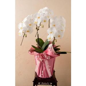 コチョーラン鉢植え(胡蝶蘭3本立・カード付き)ビジネス・開店祝・移転祝・開業祝・周年記念・新築祝・就任祝・昇進祝・お中元・お歳暮・各種お祝用|webflora