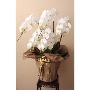 コチョーラン鉢植え(胡蝶蘭3〜5本立・カード付き)ビジネス・開店祝・移転祝・開業祝・周年記念・新築祝・就任祝・昇進祝・お中元・お歳暮・各種お祝用|webflora