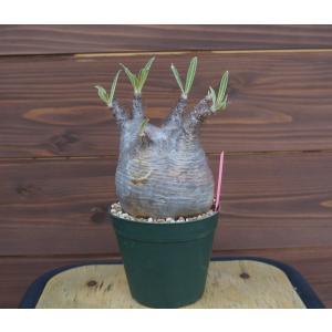 Pachypodium rosulatum var. gracilius パキポディウム グラキリス |wonderpurants