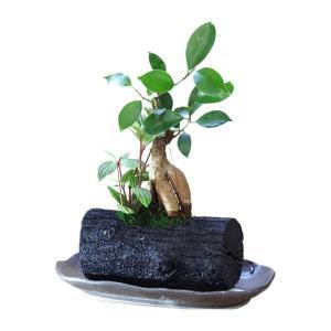 炭インテリア・グリーン/炭花壇/観葉植物 大/ガジュマル|woodystoreak