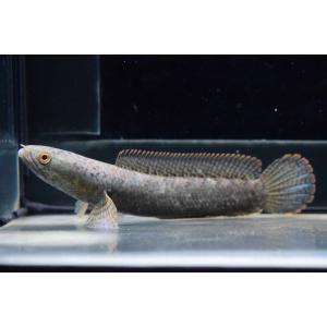 ハーコートスネークヘッド 11-12cm B個体|world-rivers-net