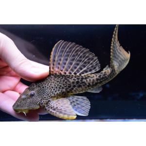 ブラジル、ジュルア川の珍プレコ!頭は大きく体高があり、クプープレコのような長い体型のスレンダーコクリ...