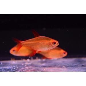 基本的に小型魚は仕入れていないのですが、赤さが衝撃的だったので仕入れてみました。導入時からすごく赤い...