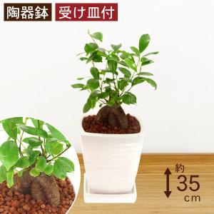 観葉植物 ガジュマル 高さ約35cm 陶器鉢ホワイト|worldgarden