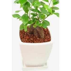 観葉植物 ガジュマル 高さ約35cm 陶器鉢ホワイト|worldgarden|03