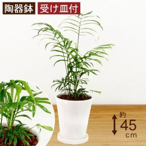 観葉植物 テーブルヤシ(チャメドレア・エレガンス) 高さ約45cm 陶器鉢ホワイト|worldgarden
